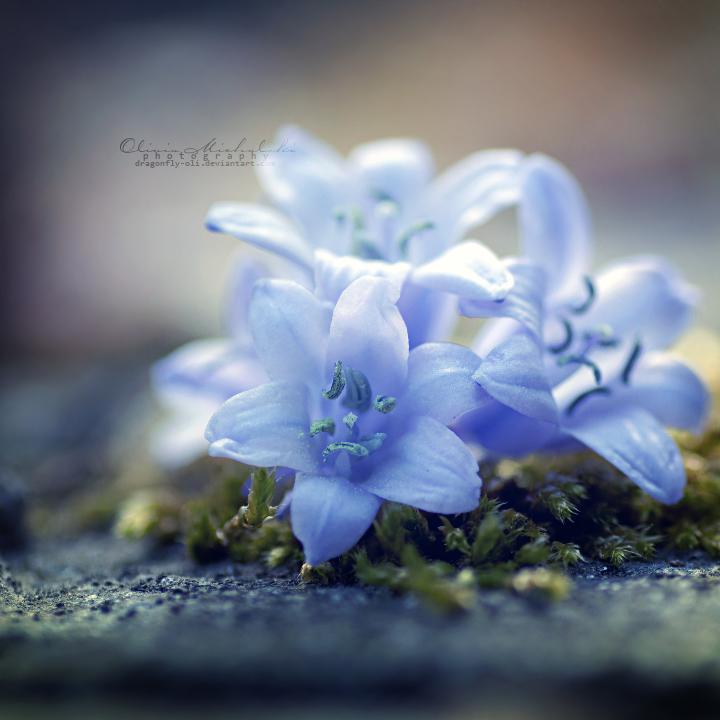 Stars in Spring. by dragonfly-oli