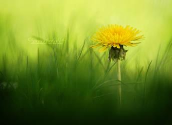 Common dandelion / Loewenzahn by OliviaMichalski