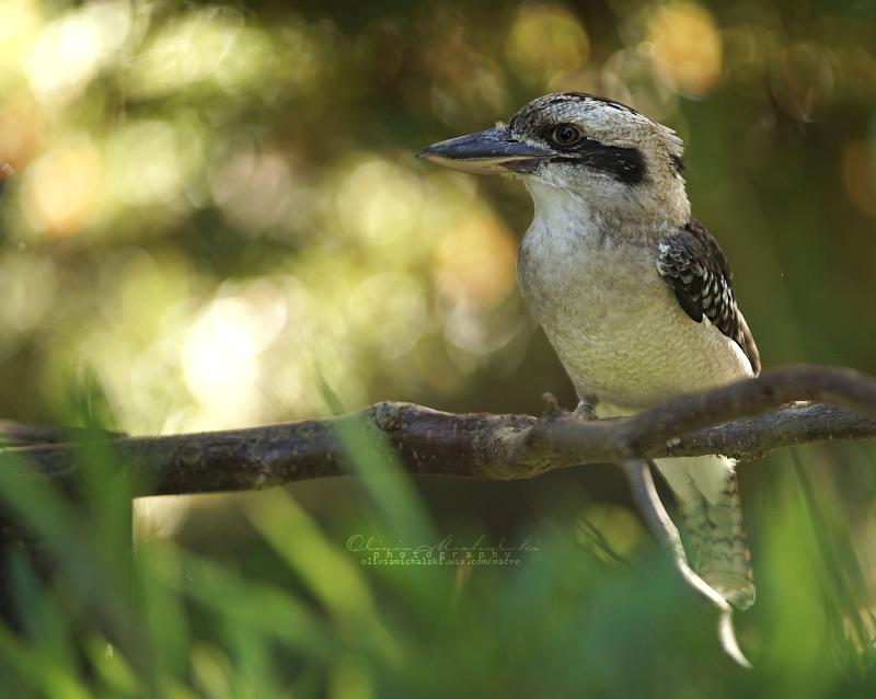 Dacelo noveguineae - The Laughing Kookaburra by OliviaMichalski