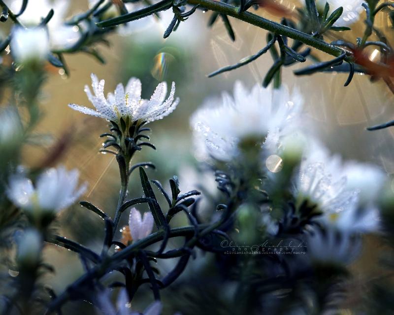 Morning Glory. by OliviaMichalski