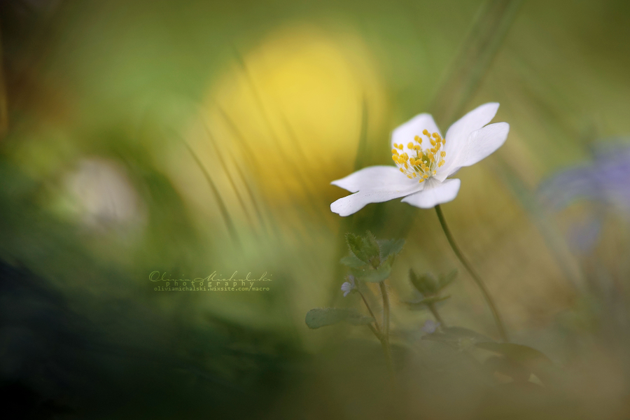 Anemone. by OliviaMichalski
