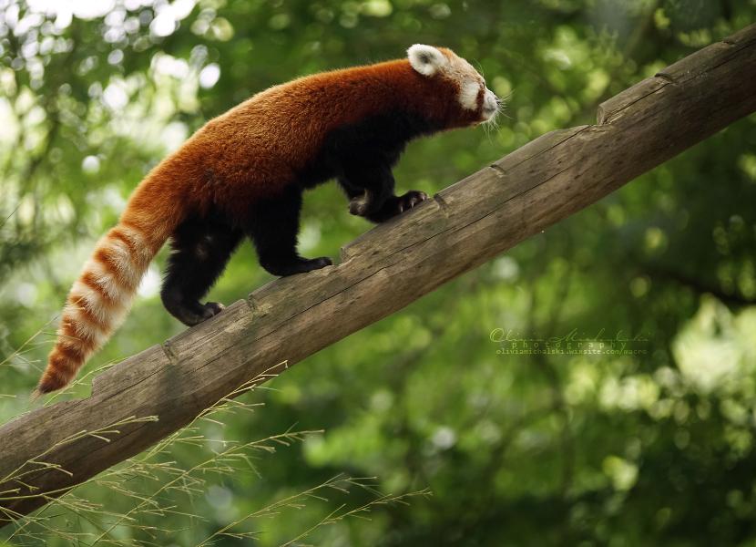 Happy Red Panda. by OliviaMichalski