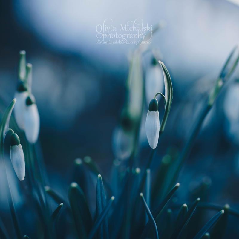 Snowdrops. by OliviaMichalski