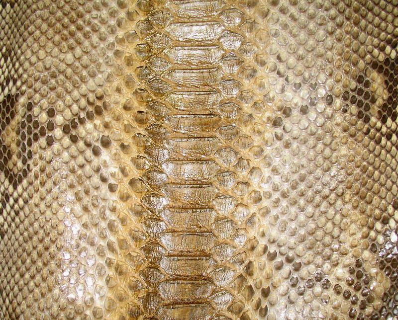 ++ exotic + gold reptile