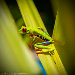 Costa Rica   Red Eyed Tree Frog by slecocqphotography