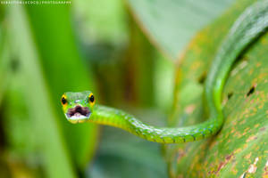 Costa Rica | Green Vine Snake by slecocqphotography