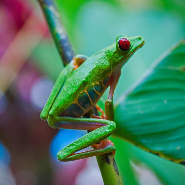 Gaudy Leaf Frog by lux69aeterna