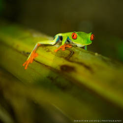 Costa Rica   Red Eyed by slecocqphotography