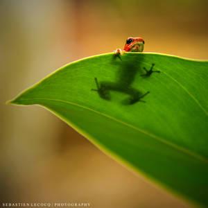 Panama | Frog in hiding