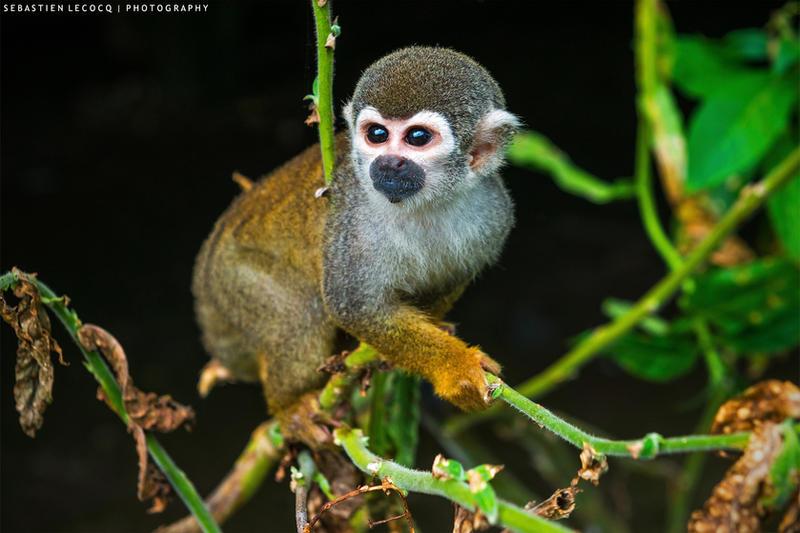 Ecuador | Squirrel Monkey by lux69aeterna