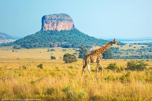 South Africa | Giraffe