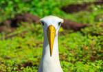 Ecuador | Waved Albatross by slecocqphotography