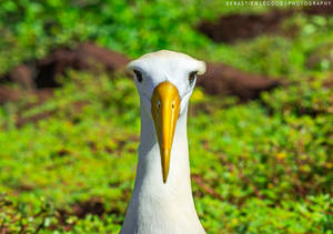 Ecuador   Waved Albatross