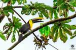 Chestnut Mandibled Toucan - Ecuador by slecocqphotography
