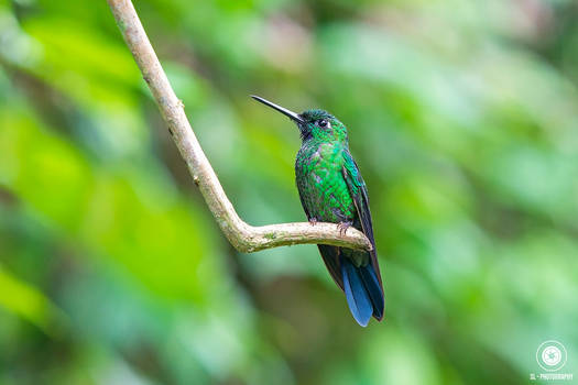 Green Crowned Brilliant Hummingbird - Ecuador