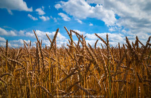 Belgium - Wheat Field by slecocqphotography