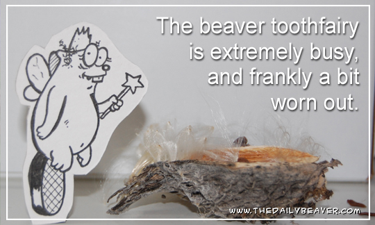 Daily Beaver - Tooth Fairy by RedWood-Beavers