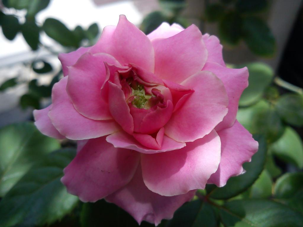 Rose Pink by Lastwolf333