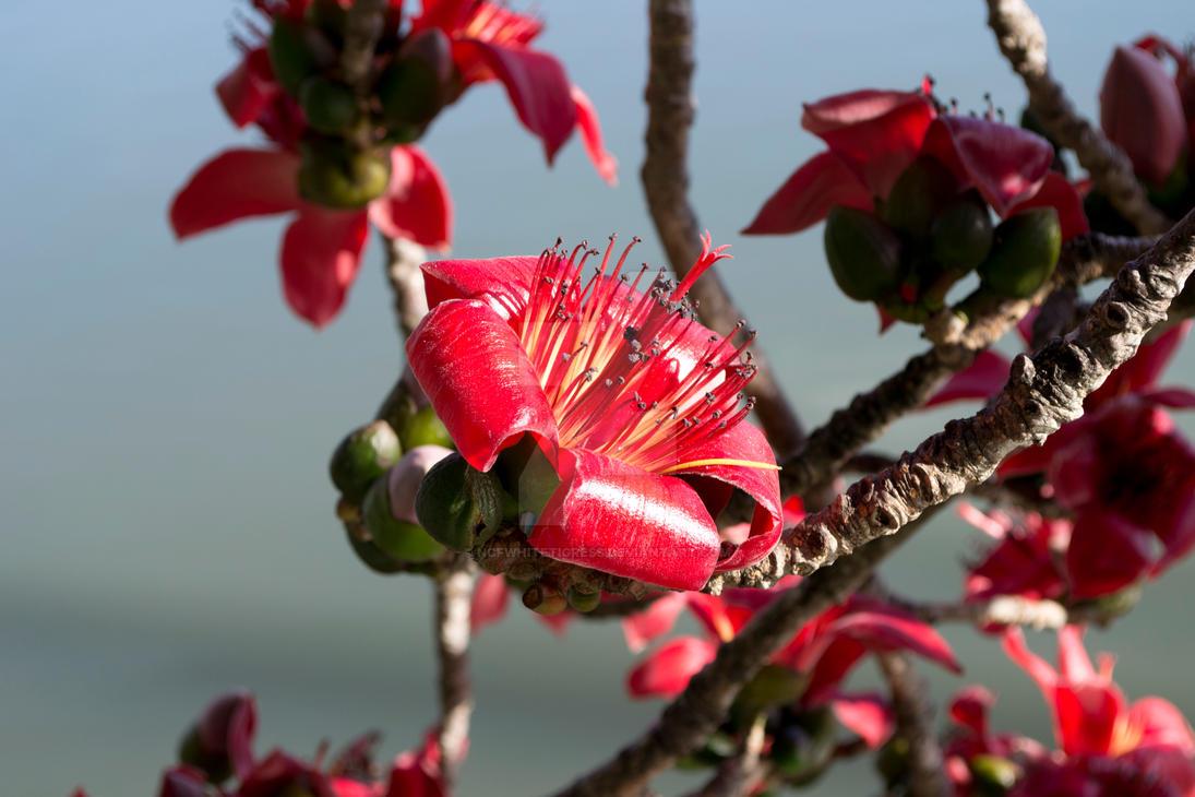 Red Silk Cotton Tree Flower By Ncfwhitetigress On Deviantart