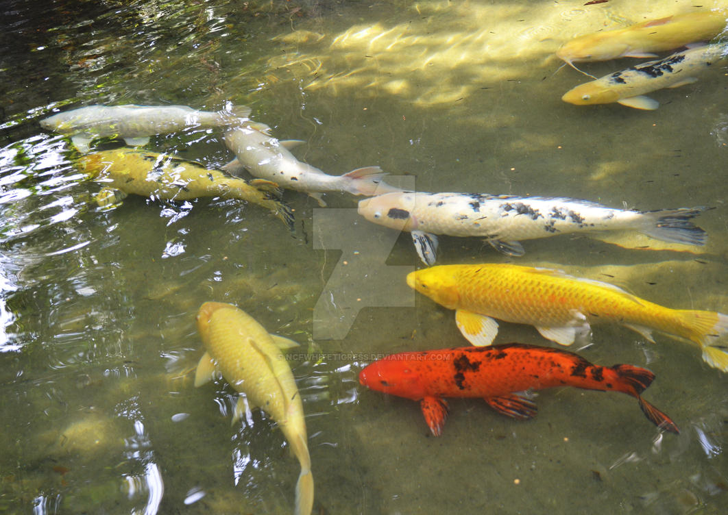 Koi pond by ncfwhitetigress on deviantart for Koi fish pond help