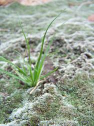 Strange moss on the Piano Boulders
