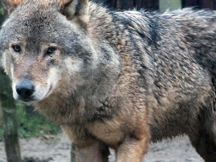 Wolf by Phlox73