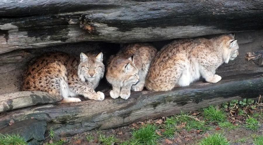 Three Lynx in a log by Phlox73