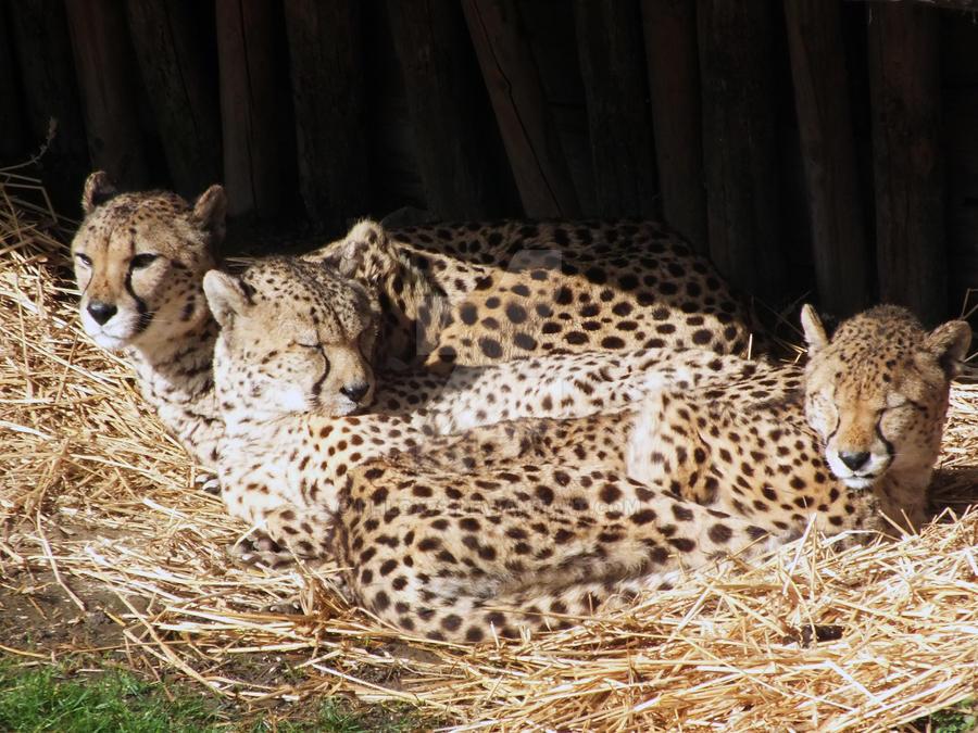 Lazy Cheetahs by Phlox73