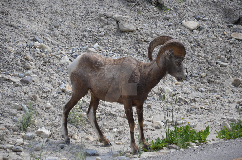 Big Horn Sheep, Lake Louise Alberta by JimJH