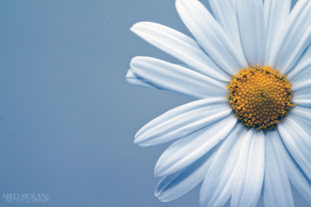 Blue Daisy by AbedArslan86 on DeviantArt