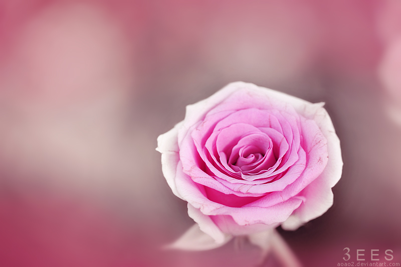 Soft rose ... by aoao2