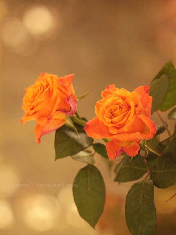 Orange roses ... by aoao2