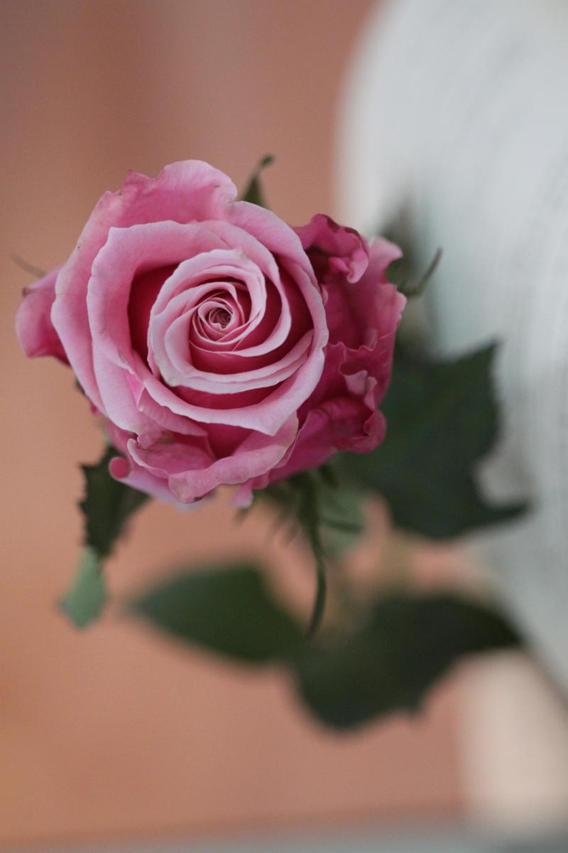 Rose stock II by aoao2
