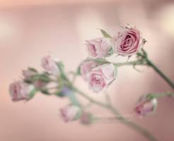 Mini roses by aoao2