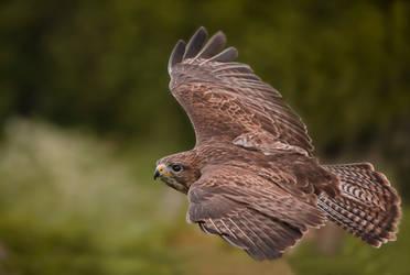Flight of the Buzzard by mansaards
