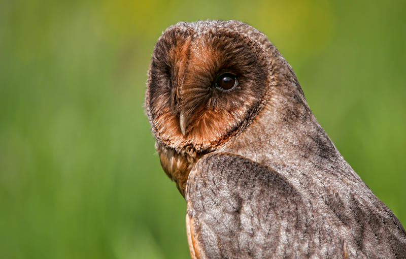Melanistic black barn owl