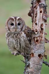 Tawny Owl by mansaards
