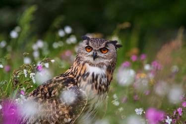 Meadow Owl by mansaards