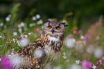 Meadow Owl