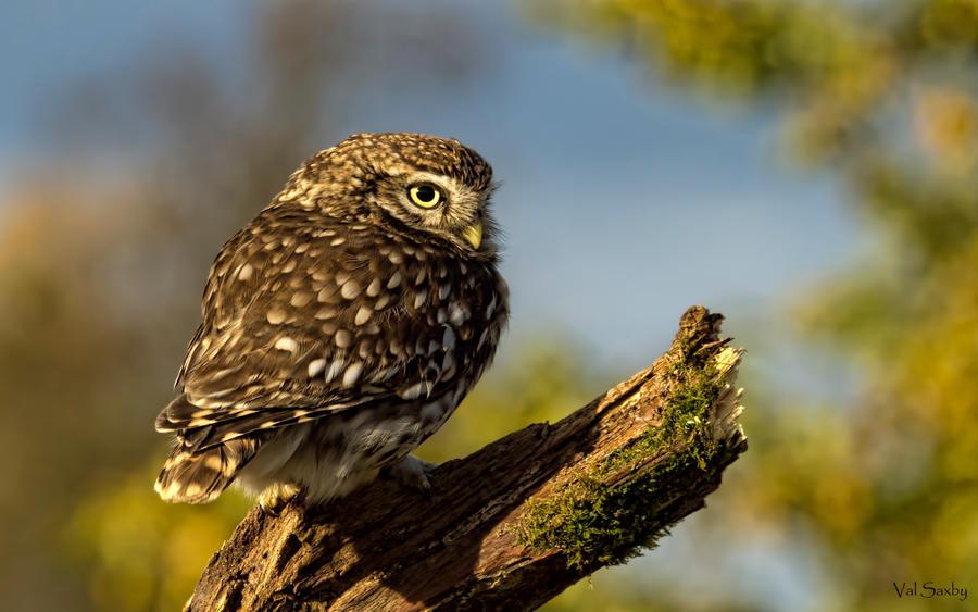 Little Owl by mansaards