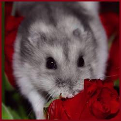 Hamster Valentine by Tijgerkat