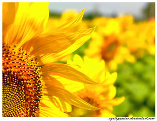 Beyond the Sunflowers
