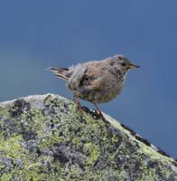 Little bird by Bushido112