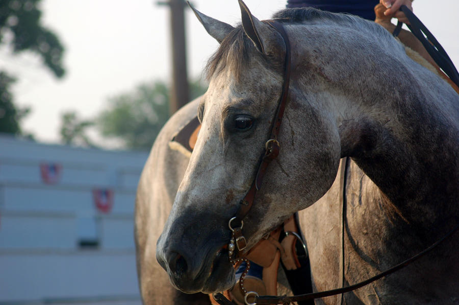 quarter horse head pictures - photo #32