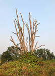 oak skeleton