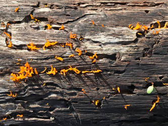orange fungi in beetle tracks by markdow