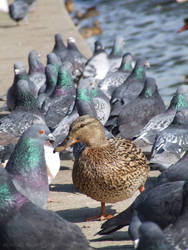 Duck in the crowd