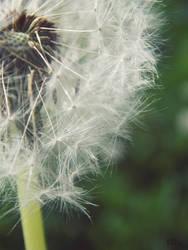 Dandelion by BiBiancaa