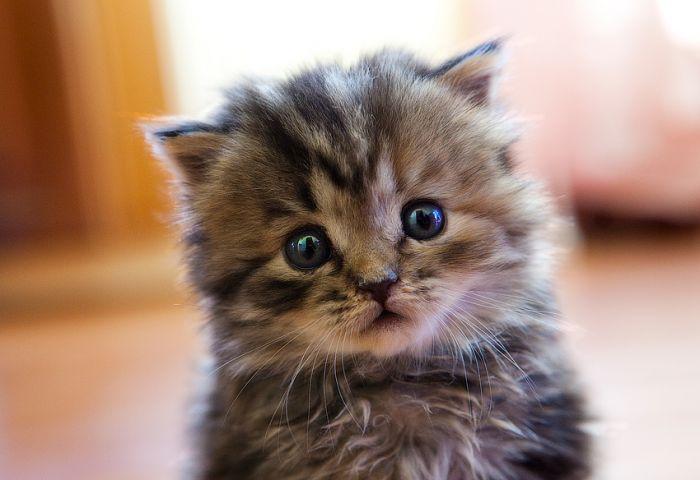 baby fluffy kitten by Pikachuballoon on DeviantArt