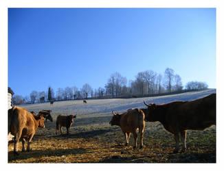 Cows meeting by biolarve